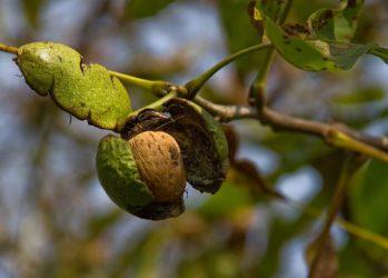 Сколько лет живет грецкий орех дерево?