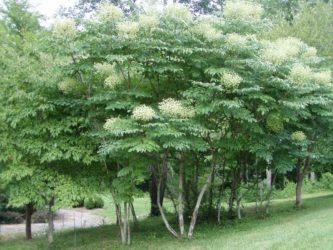 Быстрорастущие деревья в средней полосе России