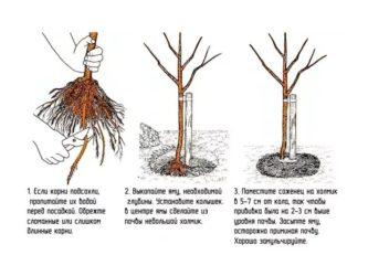 Сроки посадки саженцев яблони осенью
