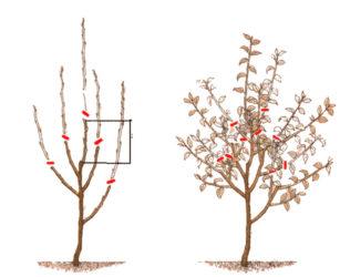 Обрезка двухлетнего саженца яблони