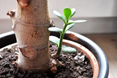 Как пересадить живое дерево?