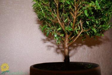 Почему осыпается миртовое дерево?