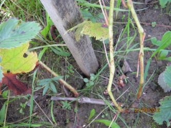 Осенний полив винограда в средней полосе