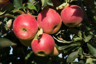 Яблони зимостойкие сорта для Сибири