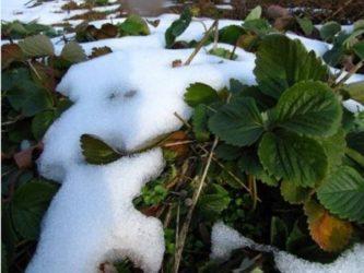 Подготовка клубники к зиме в Сибири