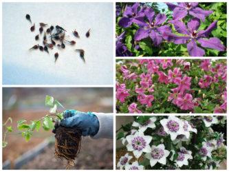 Клематисы в Сибири выращивание посадка и уход