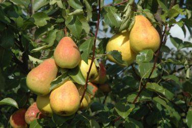 Сорта груш для Сибири самоплодные