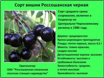 Сладкие сорта вишни для средней полосы России