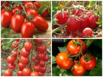 Какие томаты для Сибири лучшие сорта?