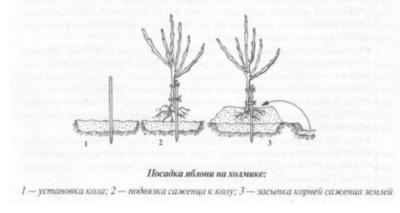 Посадка яблонь весной в Сибири