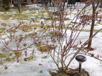 Вейгела укрытие на зиму в средней полосе