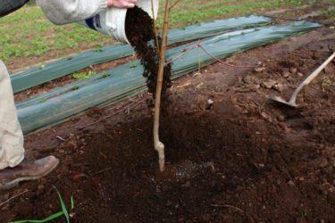 Как ухаживать за саженцами плодовых деревьев?