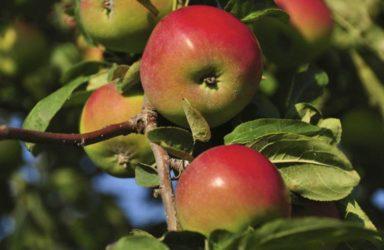 Новые сорта яблонь для средней полосы