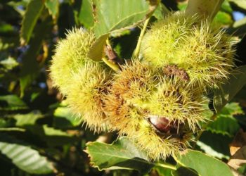 Как растет каштановое дерево?