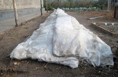 Укрытие ежевики на зиму в Сибири