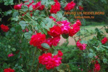Лучшие плетистые розы для средней полосы