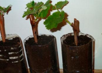 Как сделать саженцы винограда в домашних условиях?