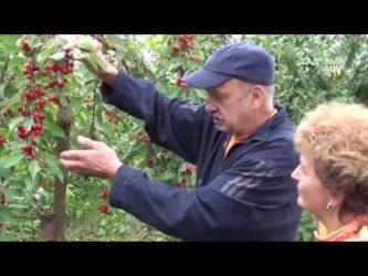 Какую черешню посадить в средней полосе России?