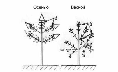 Осенняя обрезка гортензии метельчатой осенью в Сибири