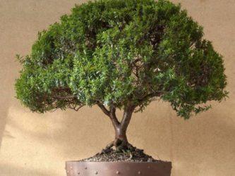 Как вырастить миртовое дерево?