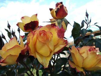Лучшие сорта роз для средней полосы России