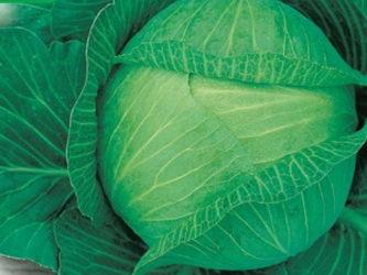 Лучшие сорта поздней капусты для средней полосы