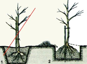 Когда сажать яблони в средней полосе России?