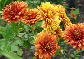 Хризантемы в Сибири зимовка