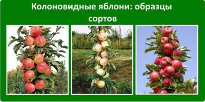 Колоновидная яблоня посадка и уход в Сибири
