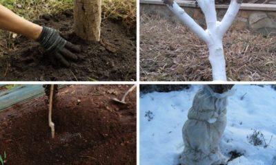 Подготовка абрикоса к зиме в Сибири