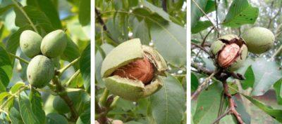 Сколько растет ореховое дерево?
