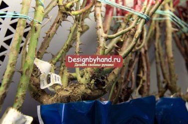 Как хранить саженцы малины до посадки?