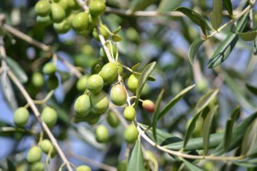 Когда начинает плодоносить оливковое дерево?