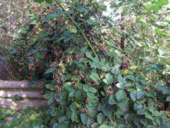 Посадка ежевики осенью в средней полосе