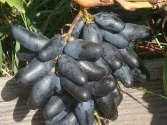Столовые сорта винограда для средней полосы