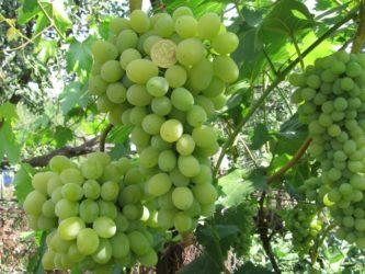 Сверхранние сорта винограда для средней полосы России
